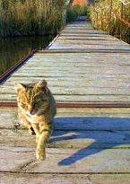 Cat on a pontoon bridge