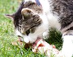 Cat Eating Raw Food