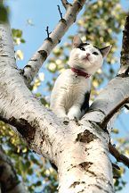 Cat in a Silver Birch Tree